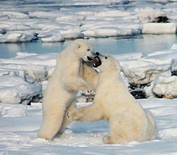 Polar_Bears_Play_fight